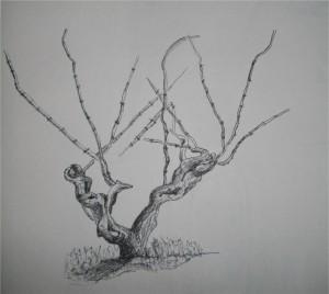 vigne-300x268